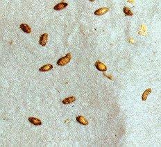 Carpet Beetle Eggs White Hpricotcom