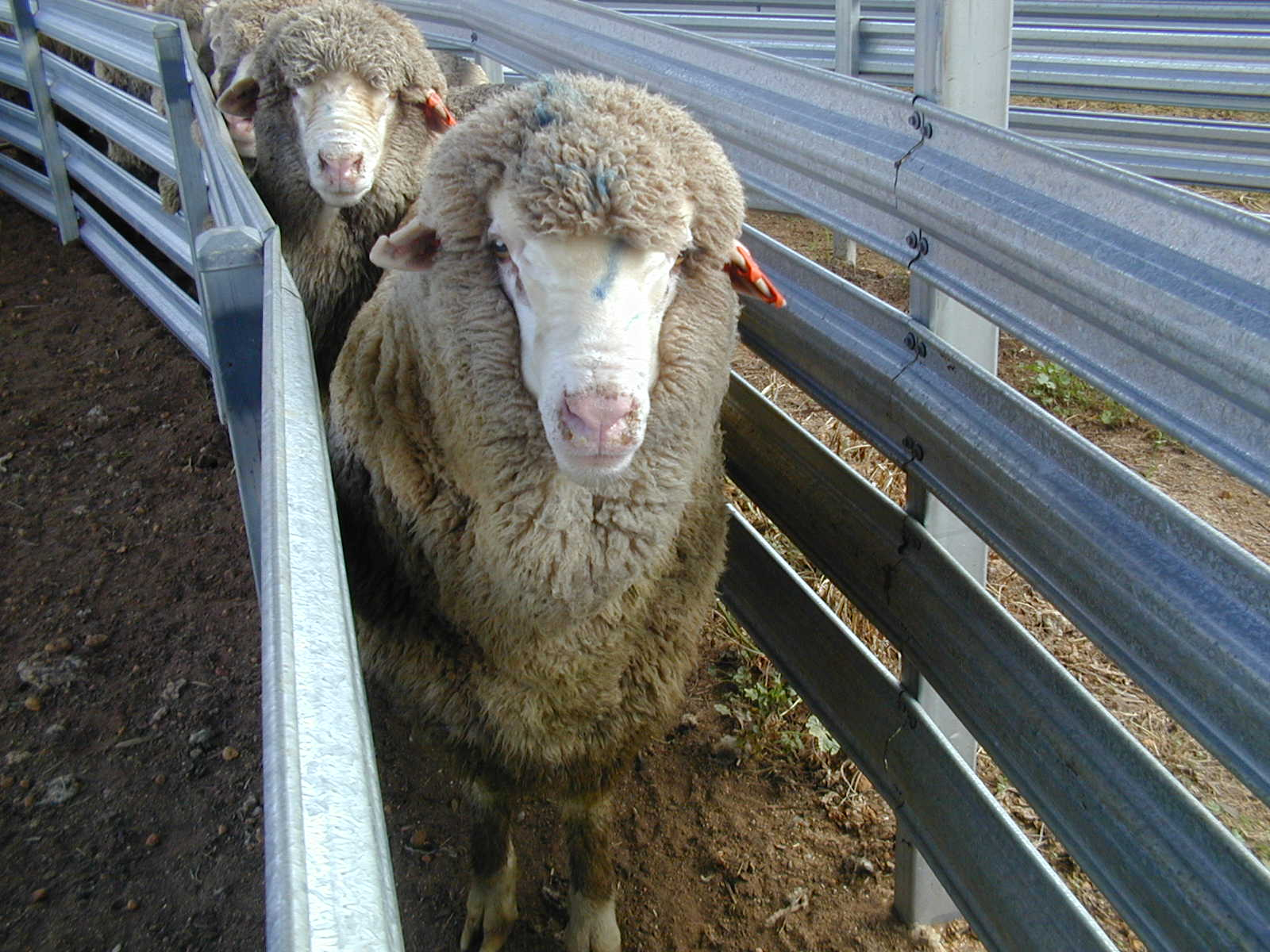 Preventing facial eczema in sheep