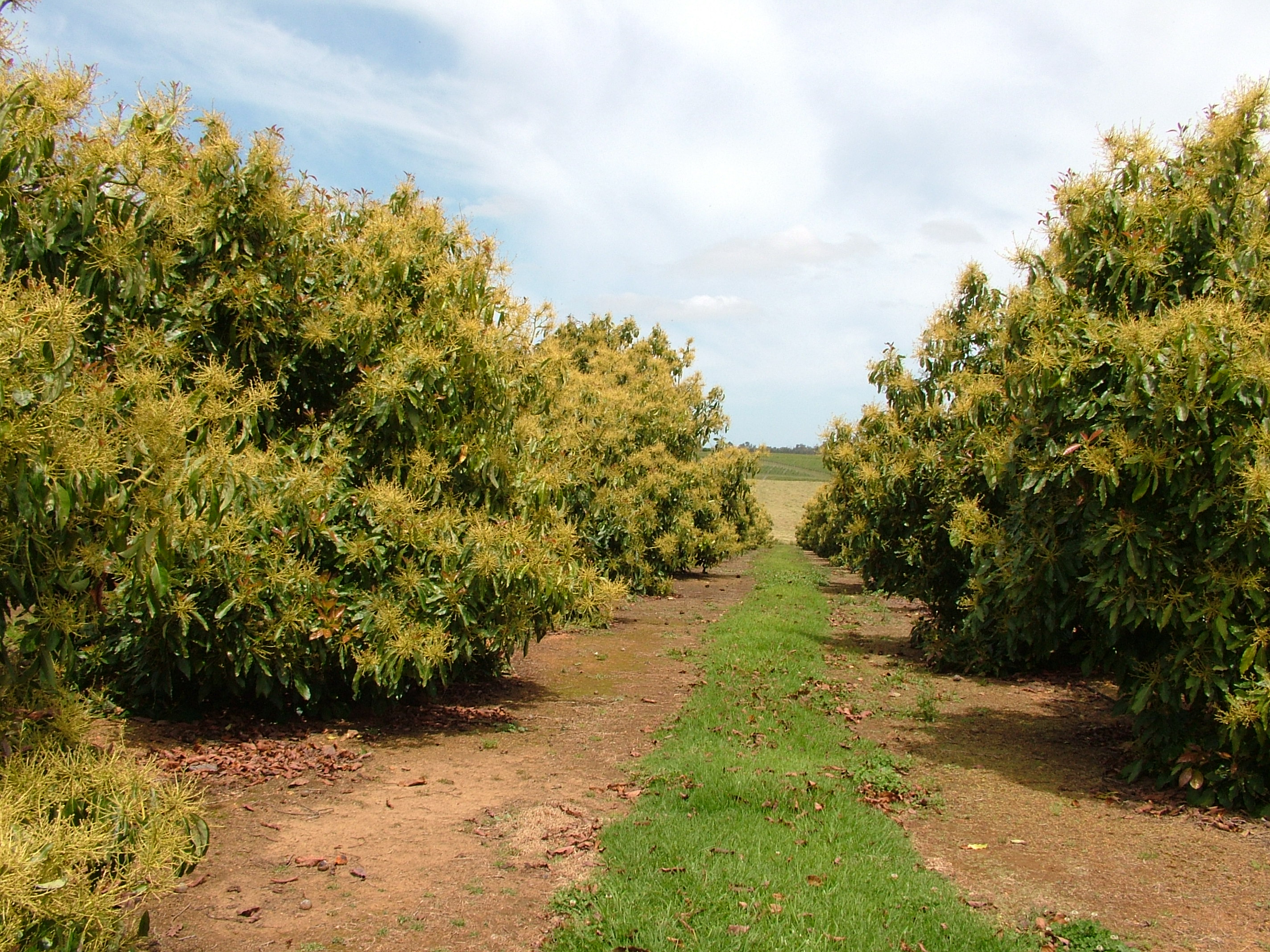 Growing avocados: flowering, pollination and fruit set | Agriculture