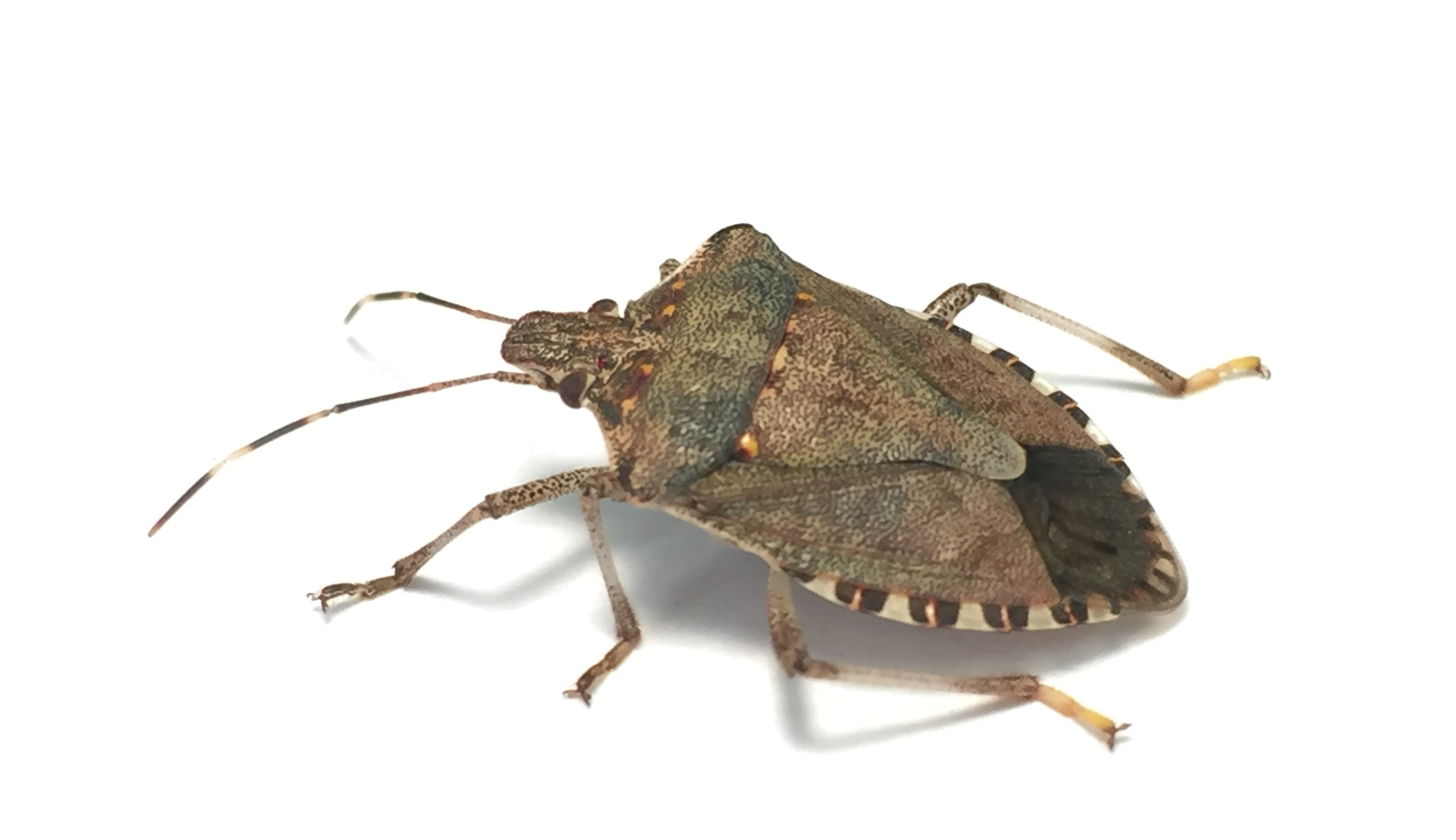 Biosecurity alert: Brown marmorated stink bug ...