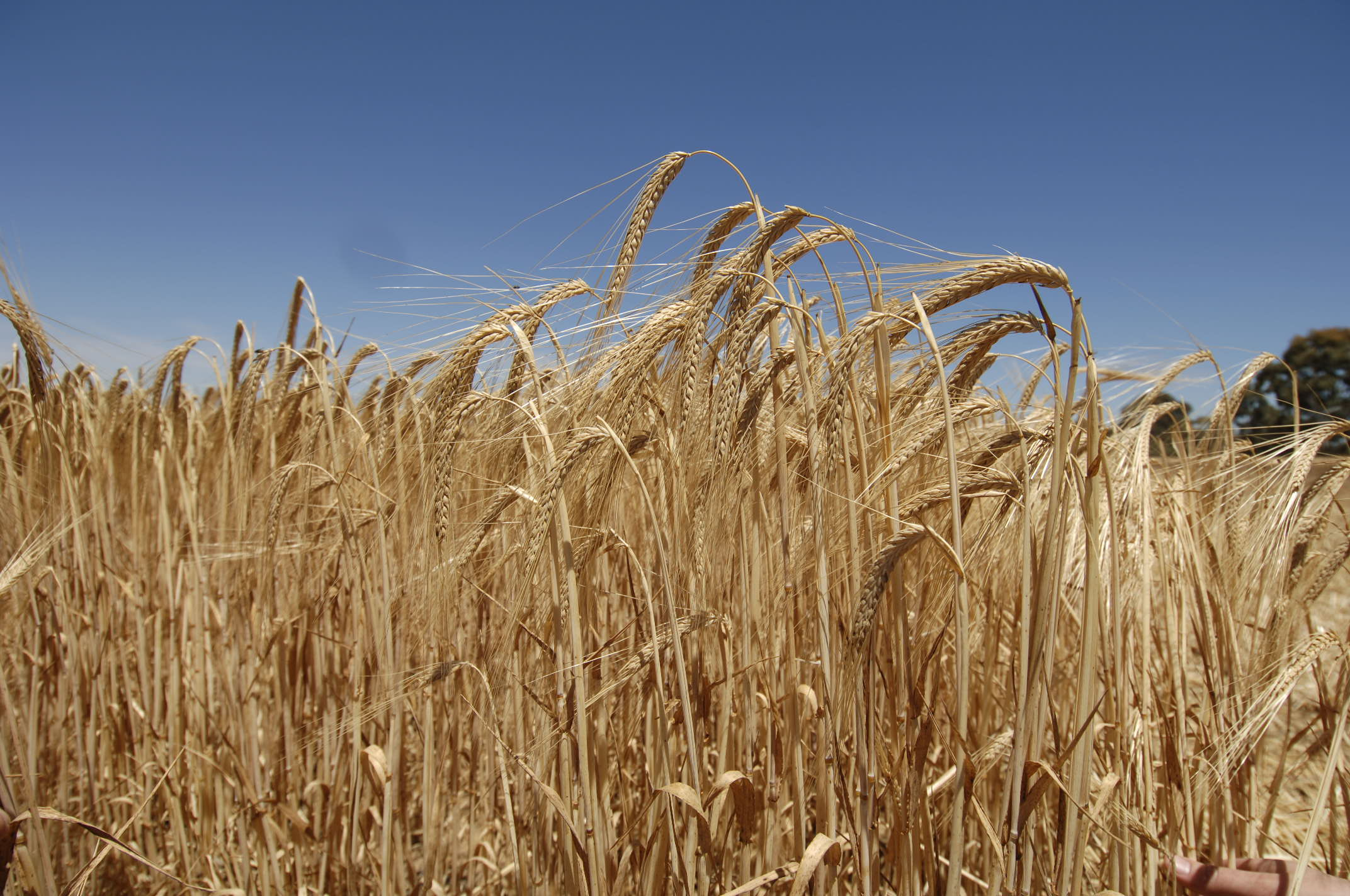 How is barley treated Types and causes of the appearance of barley