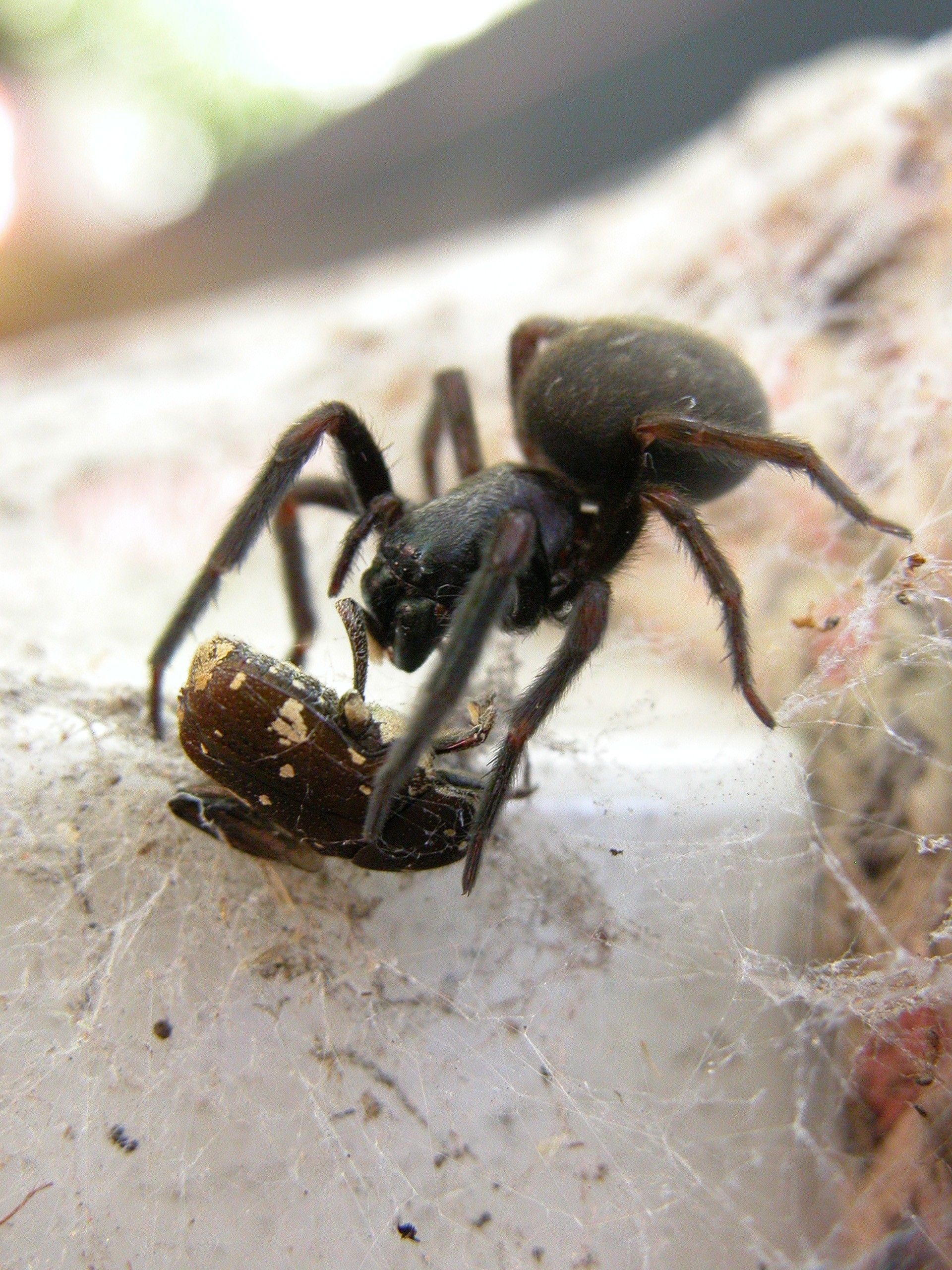common neighbourhood spiders agriculture and food