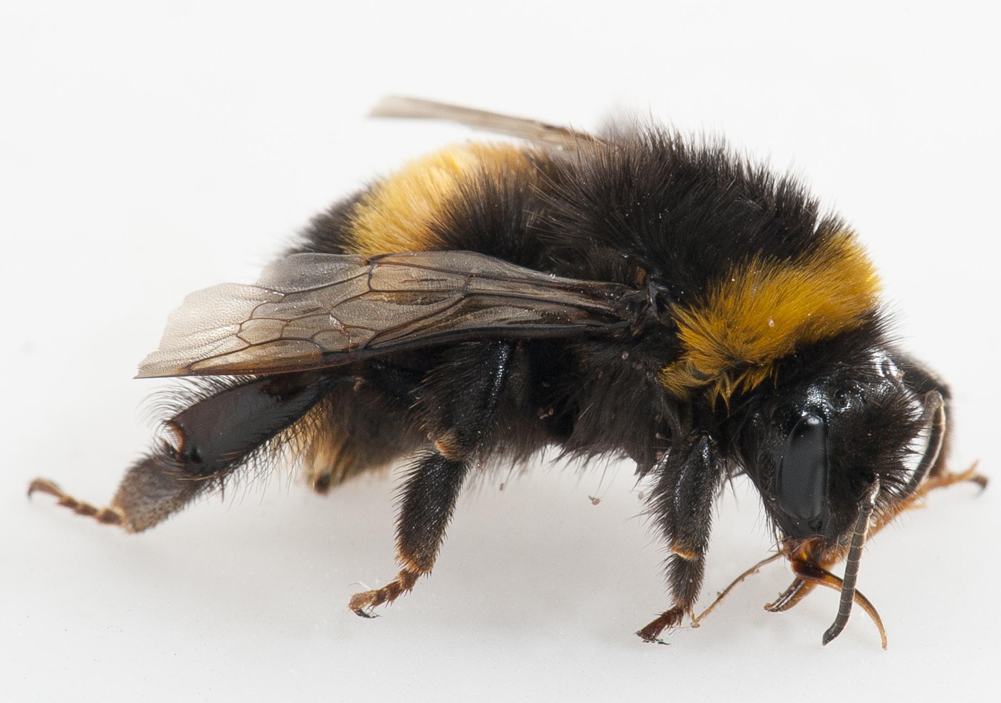 Bumblebee%20PDIS%20Pia2.JPG
