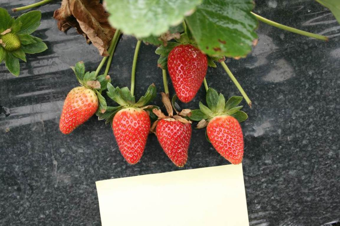 Strawberry growing in bags. Great prospects for small business