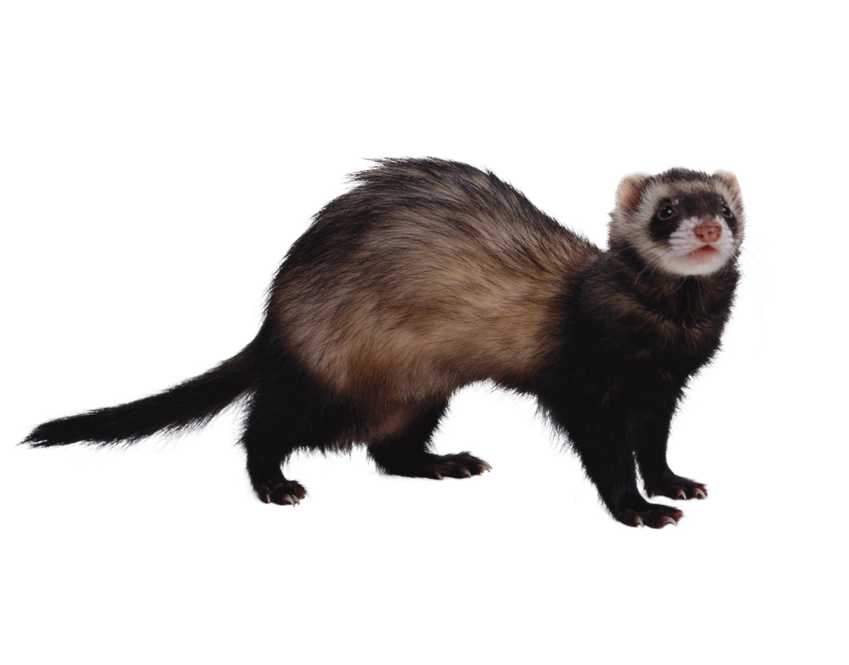 how to draw the fire ferrets animal
