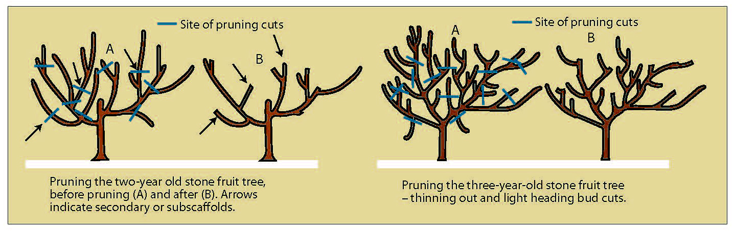 Shaping Deciduous Fruit Trees For Non Commercial Growers