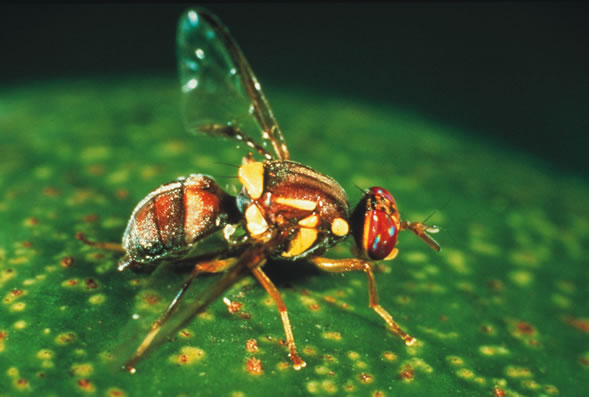 Queensland fruit fly   Agriculture and Food