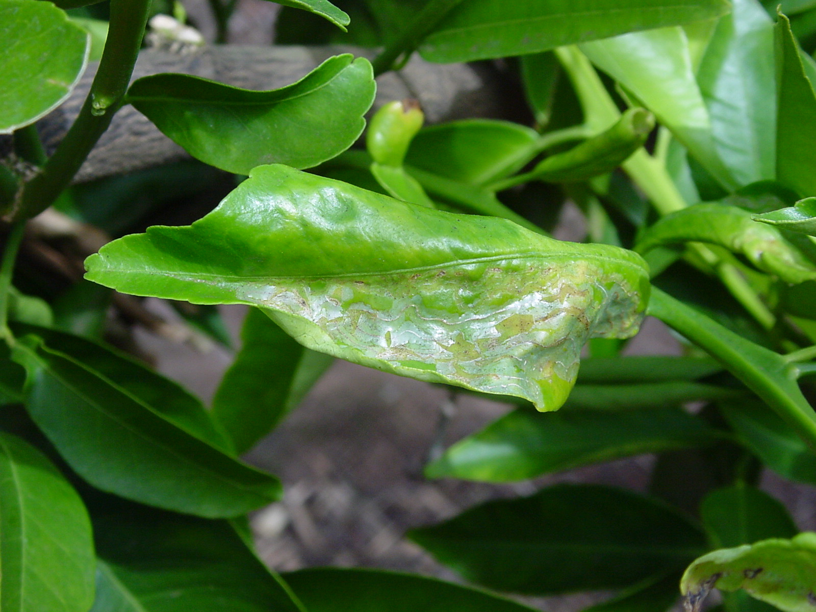 Pictures Of Grapefruit Leaves