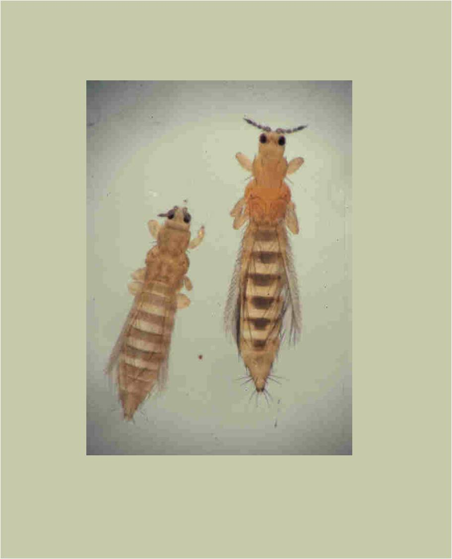 Thrips: potato pest in Indonesia and Western Australia