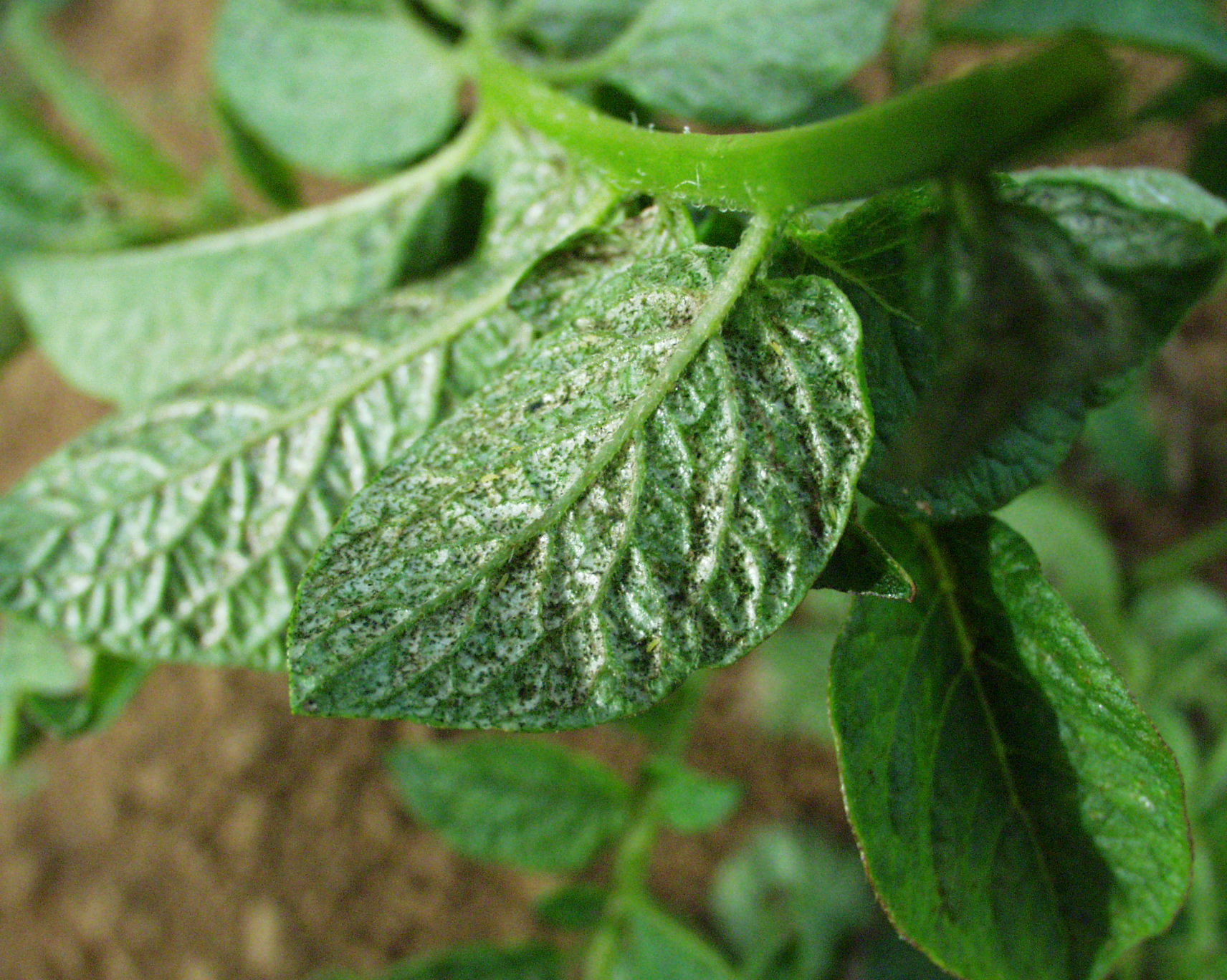 Thrips Potato Pest In Indonesia And Western Australia Agriculture And Food