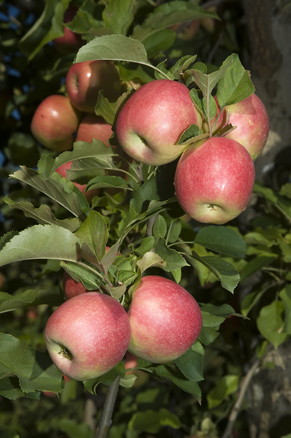 Growing Healthy Fruit Trees Agriculture And Food