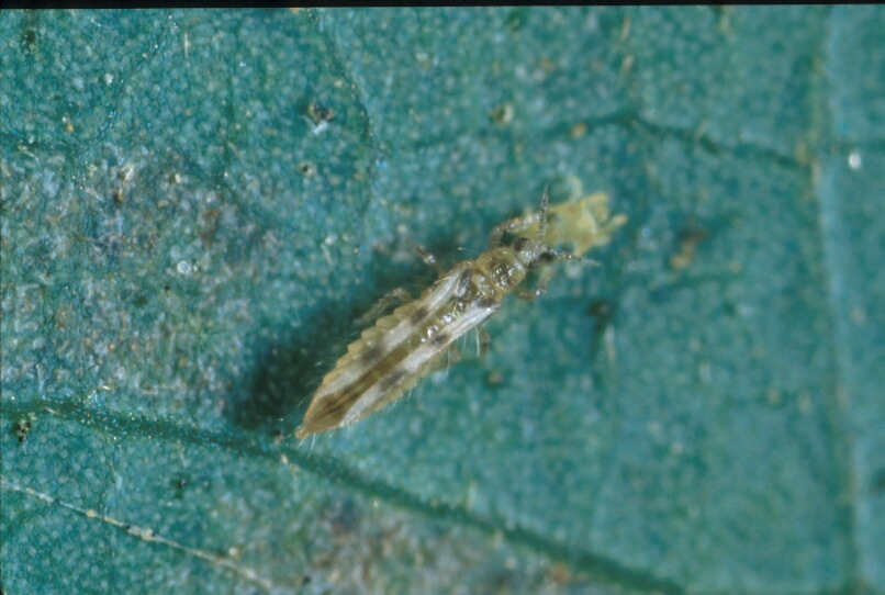 Two-spotted mite: potato pest in Indonesia and Western Australia