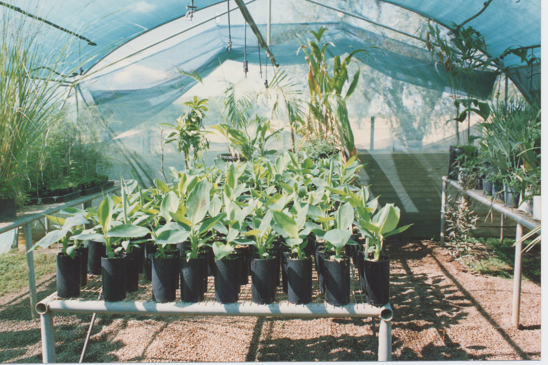 Propagation of bananas | Agriculture and Food