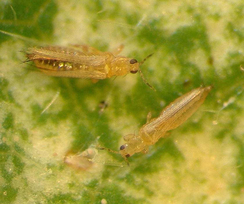 Chemical control of western flower thrips | Agriculture and Food
