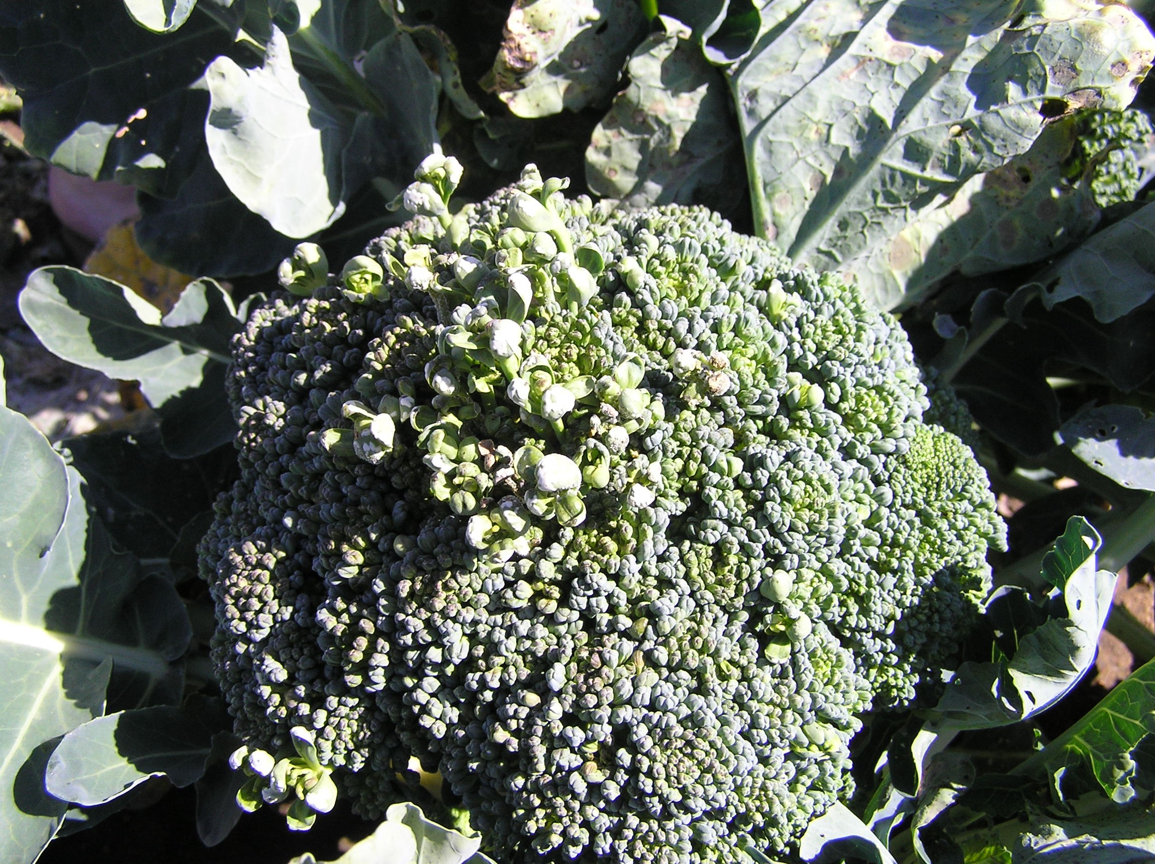White Blister Disease In Vegetable Brassica Crops Agriculture And Food