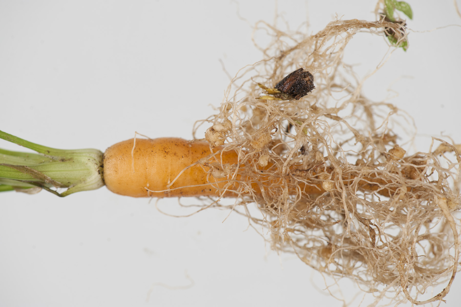 Nematodes | Agriculture and Food