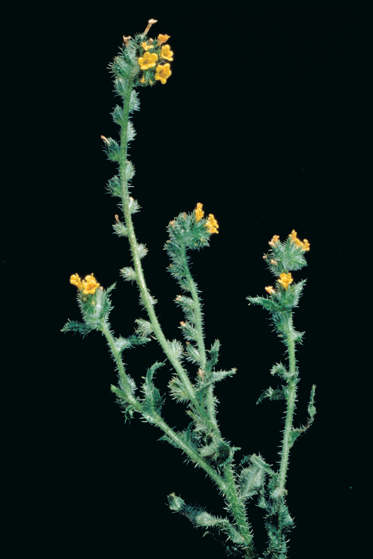 Yellow Burr Weed Declared Pest Agriculture And Food