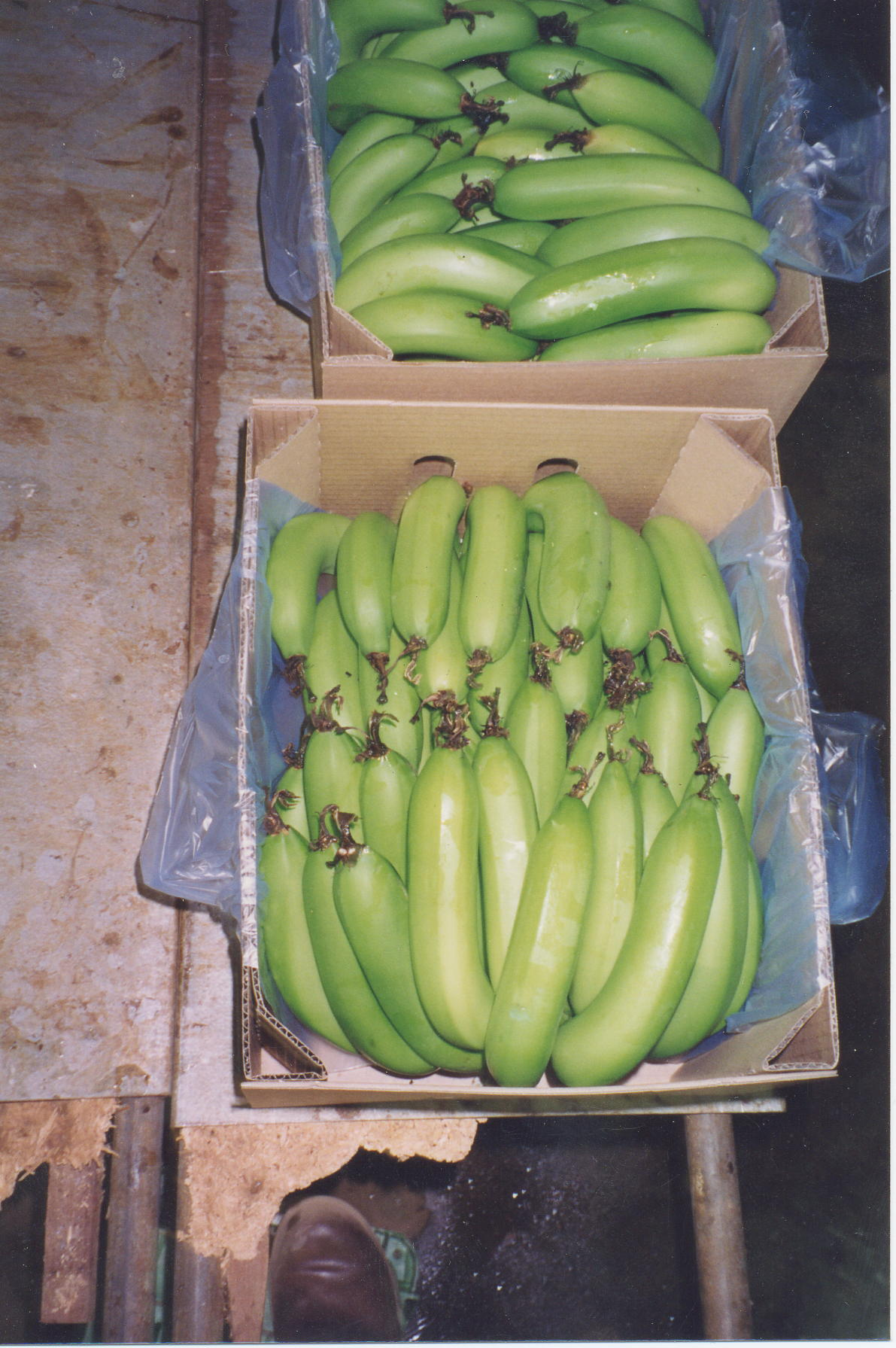Harvesting, packing and storing bananas in the ORIA