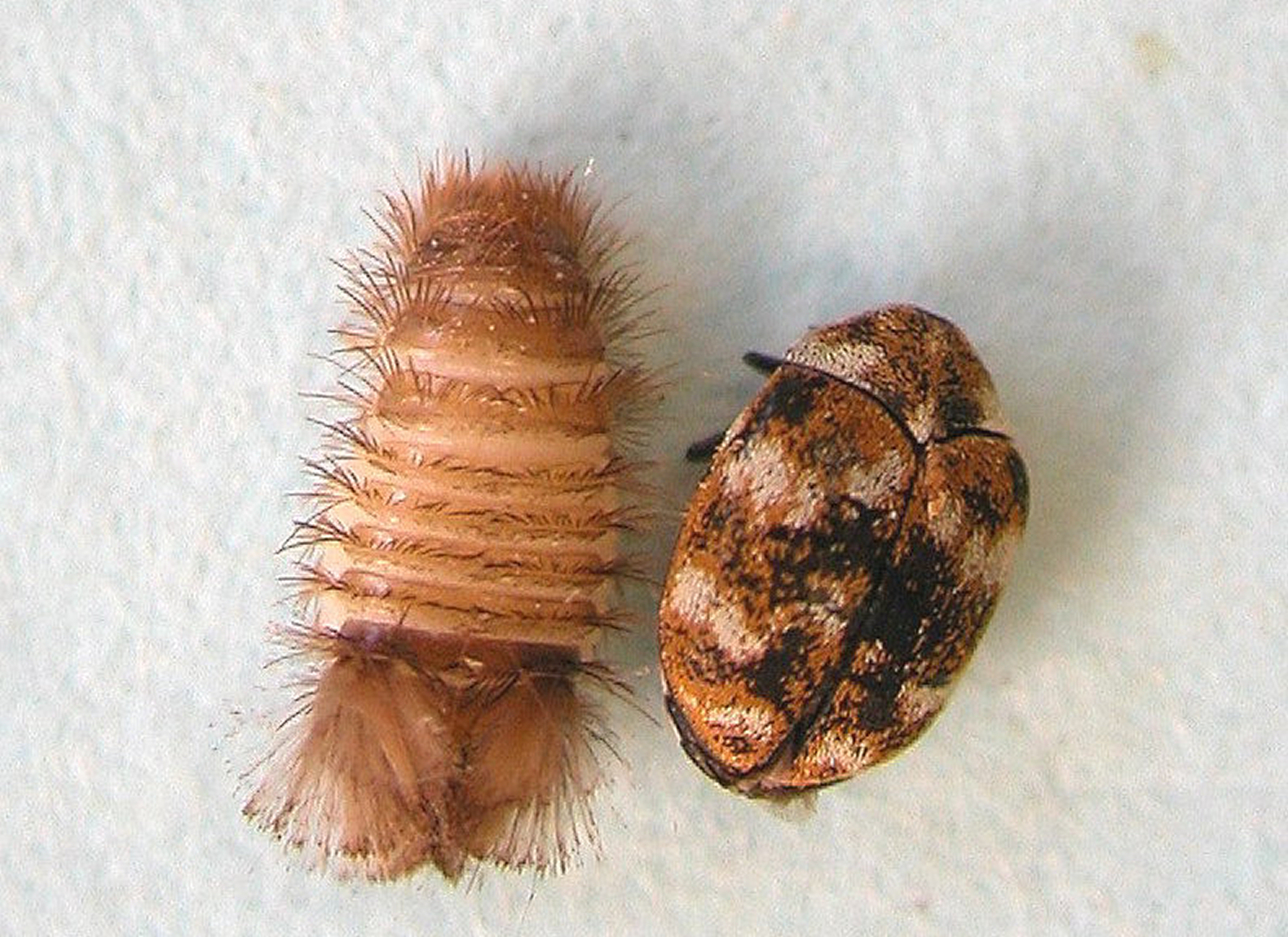 Carpet beetle adult an larva. Identifying and controlling clothes moths  carpet beetles and