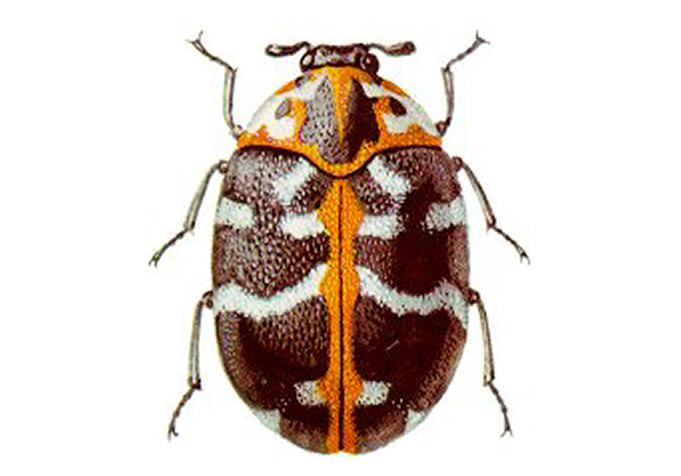 insect essay They come in many different colors and patterns, but the most familiar in north america is the seven-spotted ladybug,  insect life span 2 to 3 years diet omnivore.