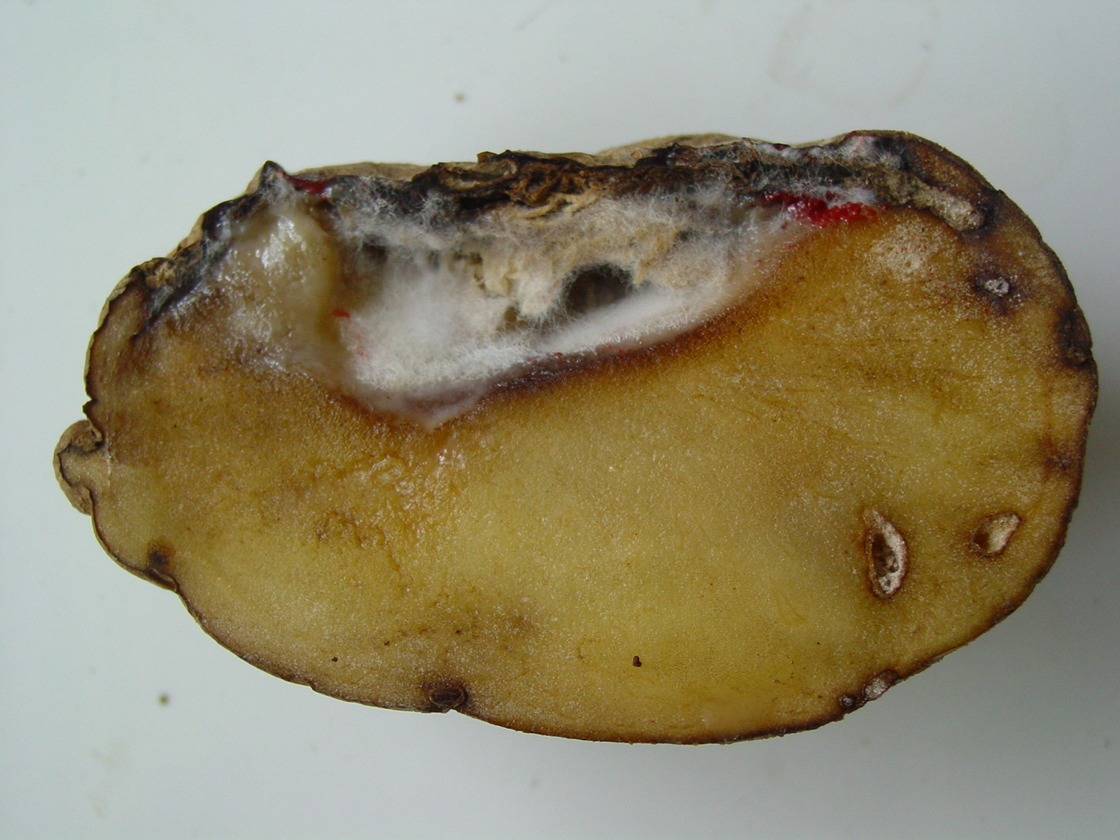 Fusarium dry rot of potatoes | Agriculture and Food