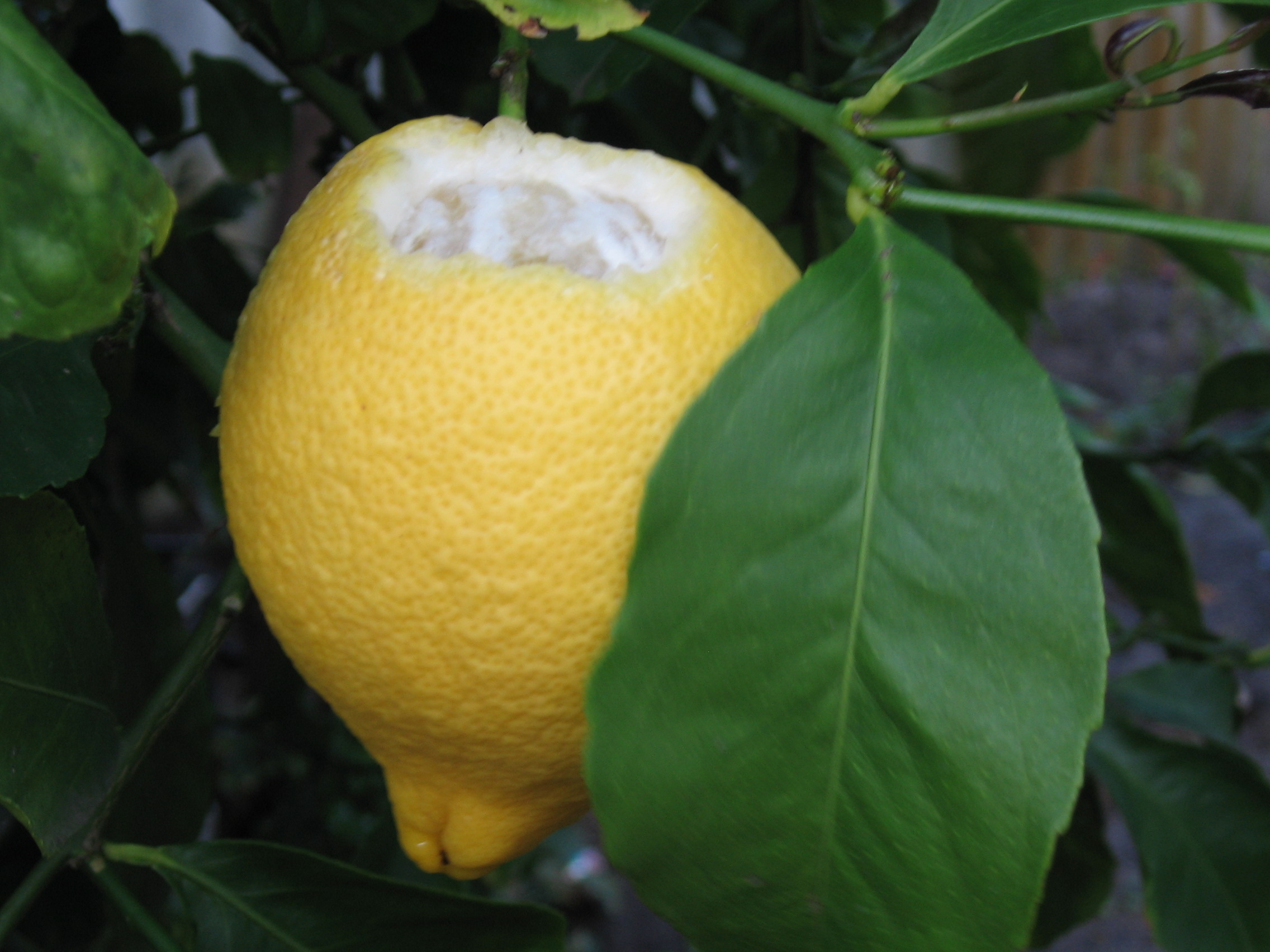 Lemon Hanging In A Tree With The Top Section Chewed Exposing Fruit