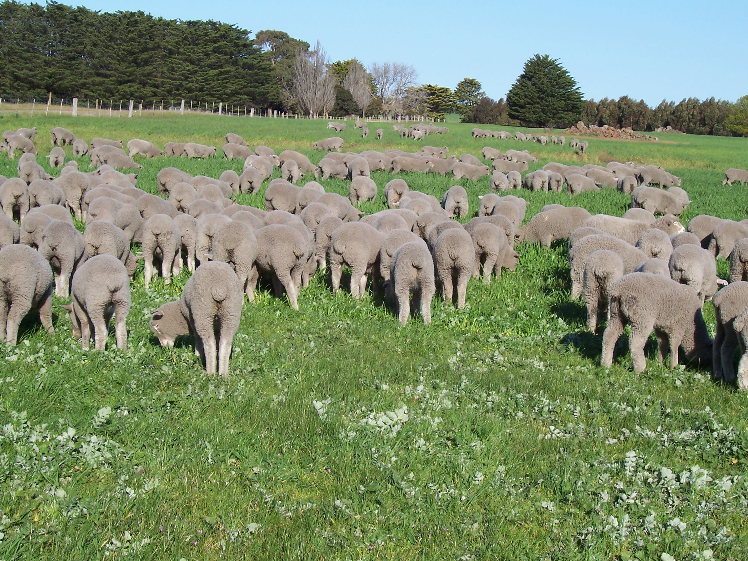 growing weaner sheep agriculture and food