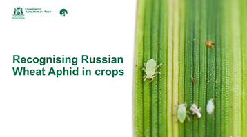 Thumbnail of webinar cover slide with Russian Wheat Aphid