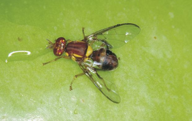 Queensland fruit fly which is bigger than Medfly and with redish brown and yellow colouring