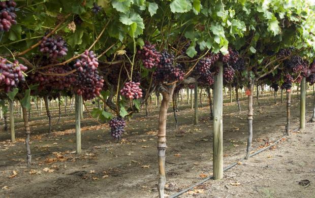 Rows of Crimson seedless vines