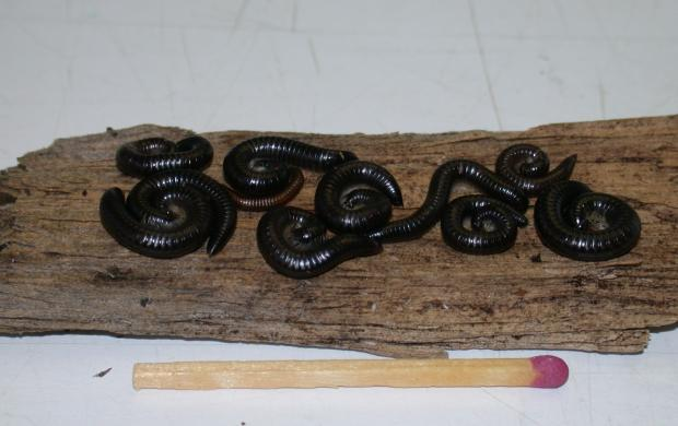Portugese millipedes can emerge and become a nuisance to householders following rain.