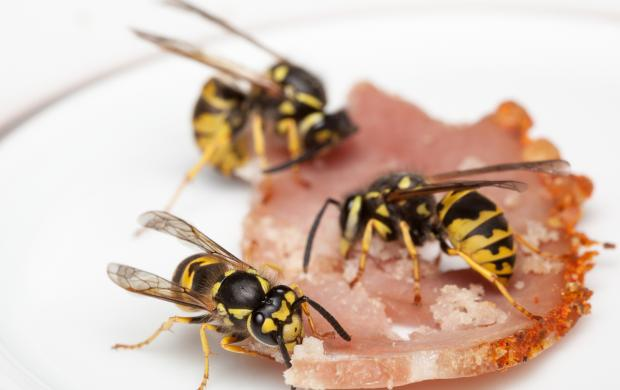 European wasps feeding on bacon