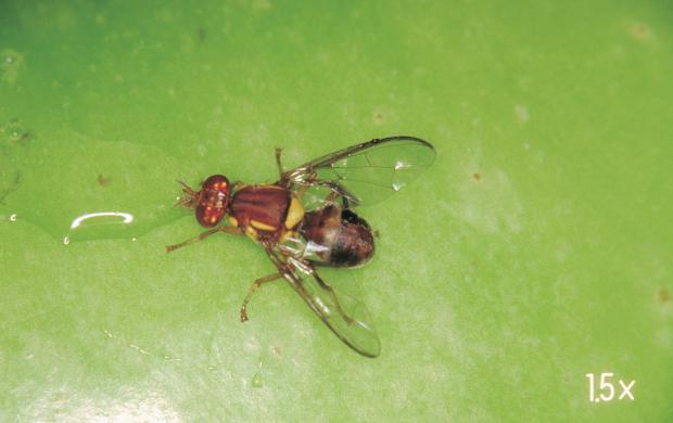 Residents in Alfred Cove and surrounding suburbs are urged to help eradicate the exotic fruit pest Queensland fruit fly by limiting the movement of home grown fruit and vegetables.