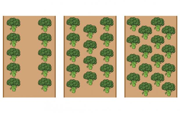 Three diagrams of broccoli being grown in two, three and four rows per bed