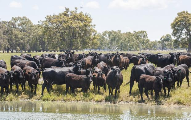 Livestock should be isolated from dams where it is suspected the water has been contaminated by blue-green algal blooms.