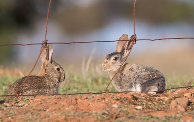Western Australian landowners and managers impacted by rabbits are invited to take part in a new national initiative examining an improved biocontrol method against this destructive pest. CREDIT: Invasive Animals CRC