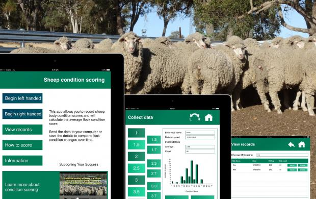 The Department of Agriculture and Food's Sheep Condition Score app can be used to determine whether sheep need supplementary feed at this time of the year.