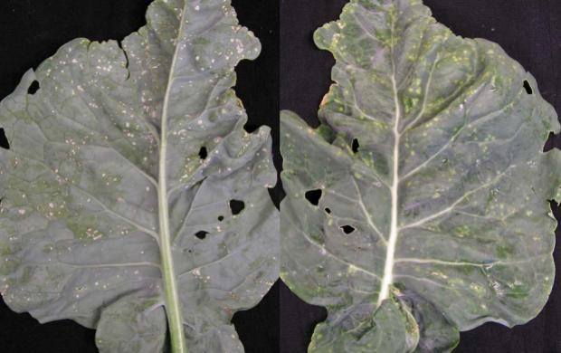 On left, underside of a cauliflower leaf with characteristic small white blisters. On right, upper leaf surface with corresponding light green circles.