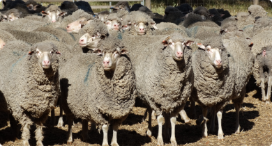 Sheep in the yard waiting to be shorn