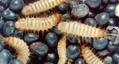 Warehouse beetle larvae