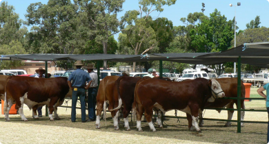 Bulls lined up at the hitching rail at a bull sale.