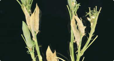 A stem of a lupin plant against a black brackground. Some of the pods have a shrivelled brown appearance symptomatic of frost damage.