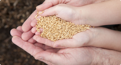 A photograph of a childs hands which are cupped together to hold some wheat grain. An adult male's hands are also cupped below the child's hands and are supporting the child's hands.