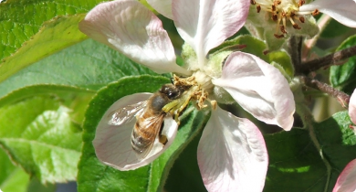 Honey bee visiting an apple flower