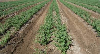 Kimberley large chickpea crop