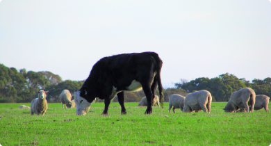 Cow and sheep grazing in paddock