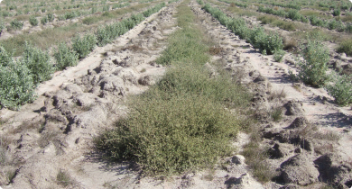 Oldman and river saltbush planting