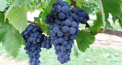 Fer wine grapes grown at Manjimup, WA