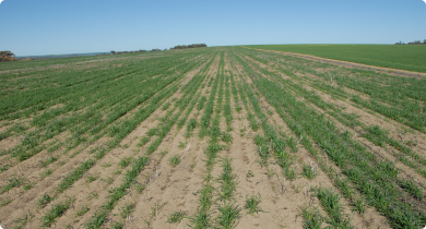 Poor crop establishment in water repellent deep yellow sand in the Chapman Valley
