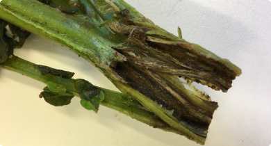 Blackleg symptoms in a potato stem caused by Dickeya dianthicola.